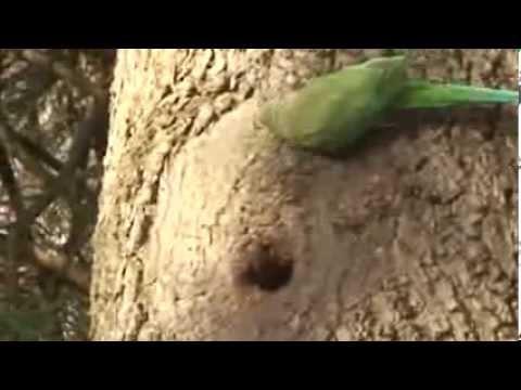 Parakeets clean out a hornet nest