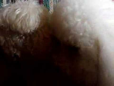 BICHON LICKS EYES OF BROTHER RUDY