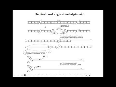 Replication of single stranded plasmids