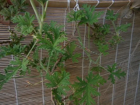 All about scented Geranium part I - Basic informations and pruning