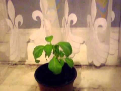 Salvia Tutorials: Introduction to Indoor growing