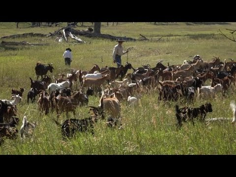 Goats Eat Weeds - Farm to Fork Wyoming
