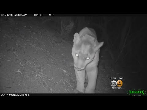 Mountain Lion Safely Crosses The 101 Freeway