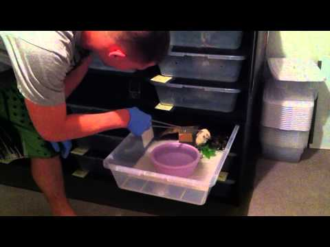 Feeding Frozen/Thawed Rats to Ball Pythons