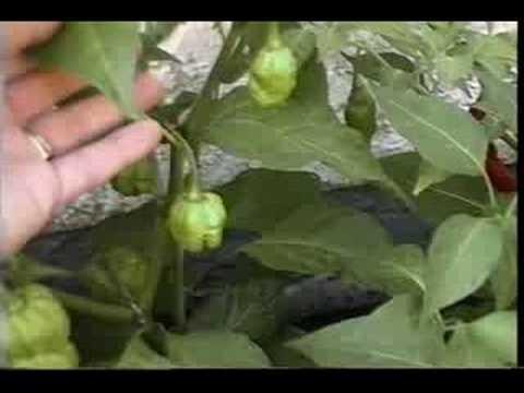 My Hot Pepper Garden 2008 - Video 1