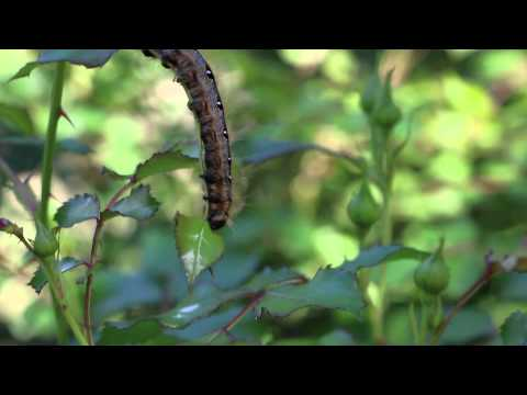 caterpillar eating my rose bush
