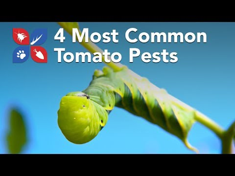 Do My Own Gardening - 4 Most Common Tomato Pests - Ep9