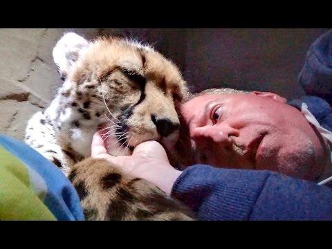 Night 3: Sleeping Inside A Cheetah Enclosure With Two Adult Big Cats - Cat Sucks Thumb Chews Ear