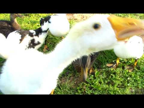 Duck and Chicken Report - Week 5