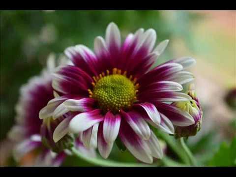 Chrysanthemums blooms🌼🍃.