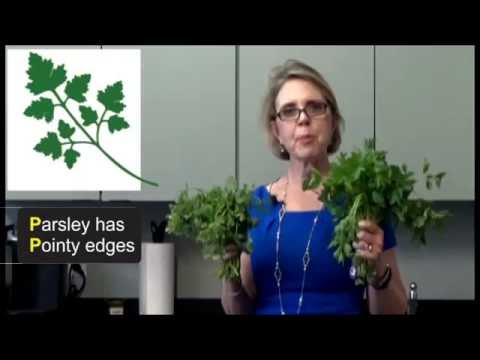 Parsley vs Cilantro Coriander How to tell the difference between the two herbs