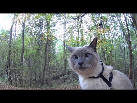 Siamese Cats explore New Trail of an Autumn Forest (+ Relax on Trees & see Dogs + Ducks) Off-Leash