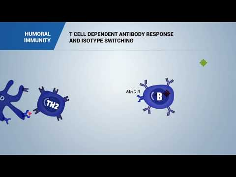 HUMORAL IMMUNITY: T cell dependent antibody response and isotype switching