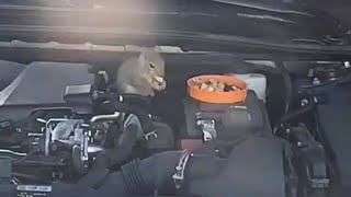 Are Squirrels Living in Your Parked Car's Undercarriage?