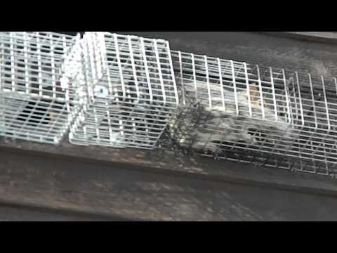 Trapping squirrels without bait in Comstock Cages