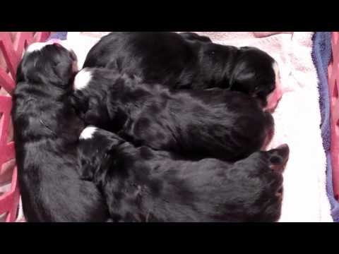 Chicago's Own Too Cute Bernese Mountain Puppies (1 day old)