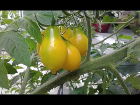 5 Tomato Reviews - How They Grew on DSH