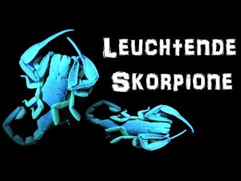 Giftige Leuchtende Skorpione | Reptilien und Amphibien Folge 12