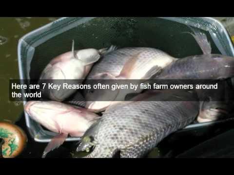 Raising Tilapia Fish -- Why Farm Tilapia.mp4