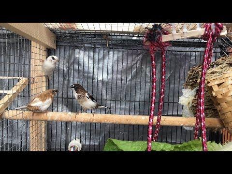 Finch Breeding Update/ October 2017
