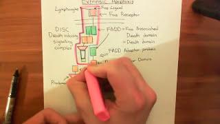 The Extrinsic Apoptosis (Fas / Fas Ligand) Pathway Part 1
