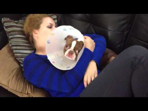 How to Take Care of a Puppy After Surgery - A Puppy's Point of View