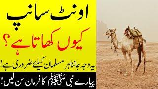 Find out why camels eat snakes | اُونٹ کے مطالق فرمانِ نبوی ﷺ ضرور سن لیں | Islamic Teacher