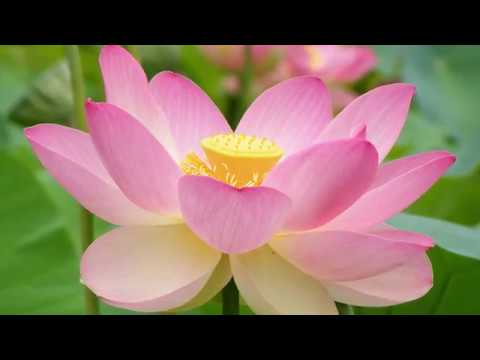 Grow Lotus in a pot at home