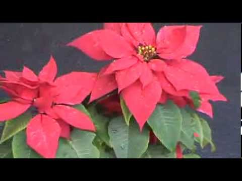 Poinsettia or Christmas Plant - Indoor Flowering Plant Pot