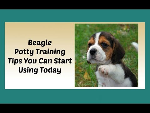 How To Potty Train A Beagle Puppy  - House Training A Beagle - Potty Train My Beagle Puppy