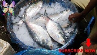 3kg size large ilish (hilsa) fish in chandpur padma river |3kg সাইজ সবচেয়ে বড়ো ইলিশ চাঁদপুর পাদ্মা