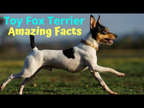 Amazing Facts on Toy Fox Terrier | In Hindi | Dog Facts | Animal Channel Hindi