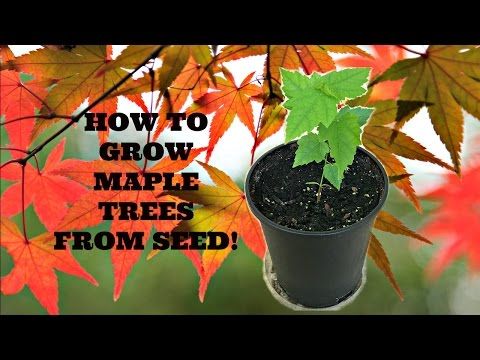 How to Grow Maple Trees from Seed!