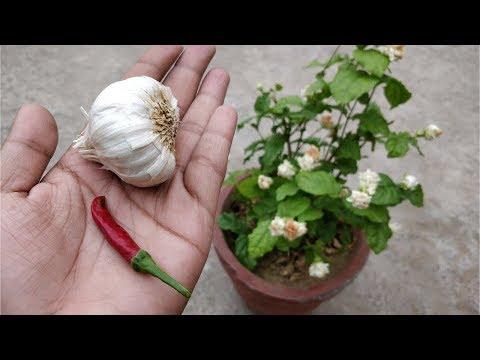 इस वीडियो को देखने के बाद आप भी डालेंगे लेहसुन और मिर्च अपने पौधों में