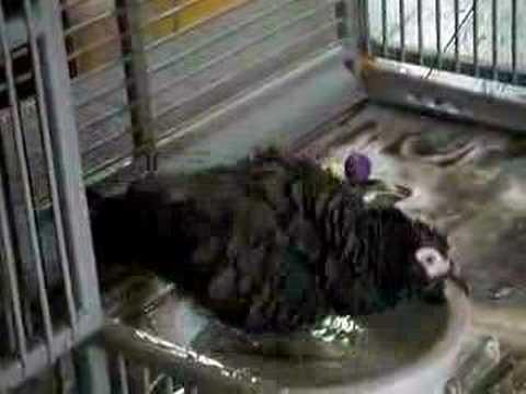 African Grey Parrot having a bath