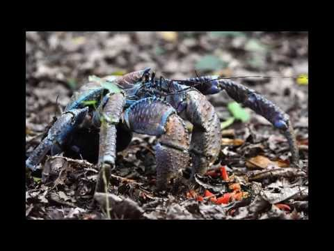 Robber crabs - a brain full of smell