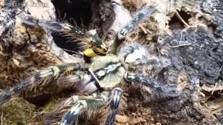 Przekładanie dorosłych samic Heteroscodra maculata, Poecilotheria ornata oraz BONUSY!