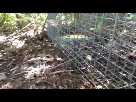 How to trap squirrels in a live trap