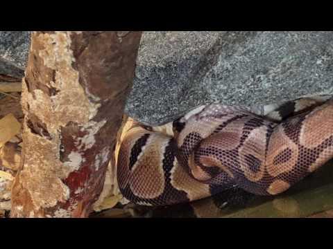 ball python eating live mouse