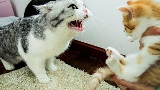 Download 【花花与三猫】家里来了只小橘猫,大猫们直接炸毛:丢出去,它会吃穷咱家的! Video