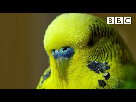 Meet Disco the incredible talking budgie - Pets - Wild at Heart: Episode 1 Preview - BBC One