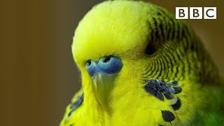 Meet Disco the incredible talking budgie | Pets - Wild at Heart - BBC