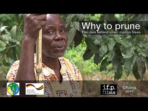 Why to prune - The idea behind small mango trees
