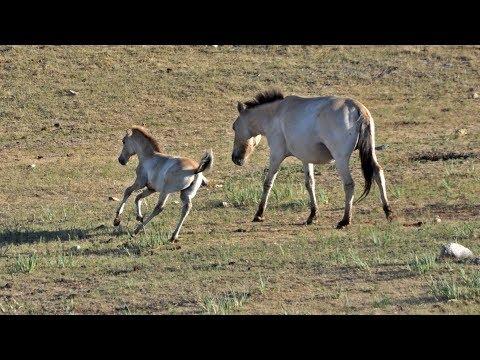 Mongolia - Hustai - Przewalski Horses