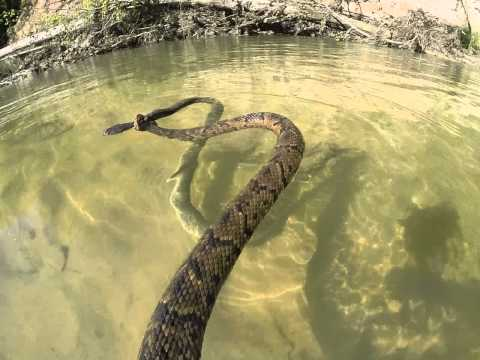 Cotton mouth water moccasin tries to kill a banded water snake