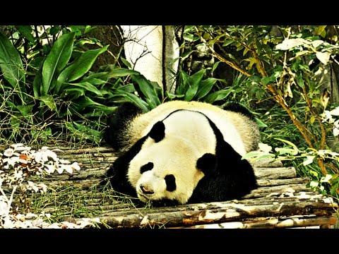 Sad Panda Bear after Loss of Companion