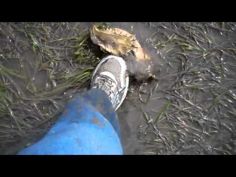 Digging Manila Clams at Whiskey Creek Netarts Bay