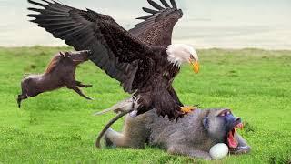 Eagles Too Dangerous Catch Baby Warthog, Daring Baboon Herd Rescue But Fails - Hawk vs Iguanas