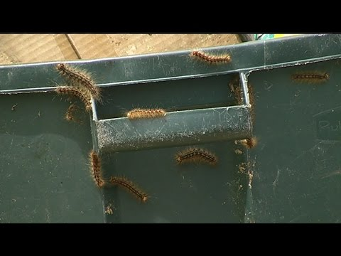 How to keep the gypsy moth caterpillars away
