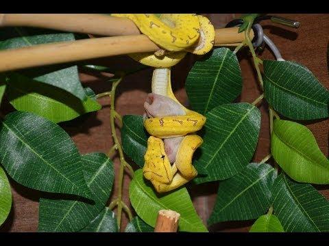 Sorong Green Tree Python Eating - Quick Video